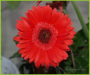 cropped daisy