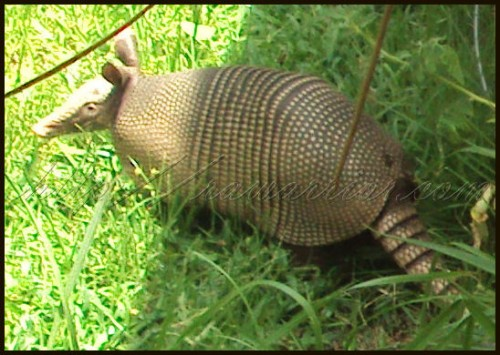 Baby armadillo on Rheumatoid Arthritis newsletter post