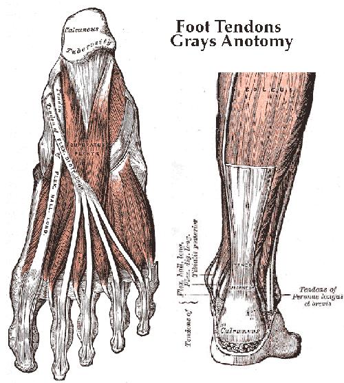 Feet tendons Grays Anatomy