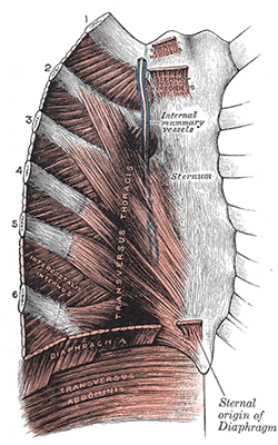 costal cartilages Gray's anatomy