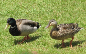 ducks at Jackson reservoir