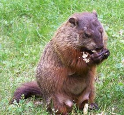 woodchuck- eating